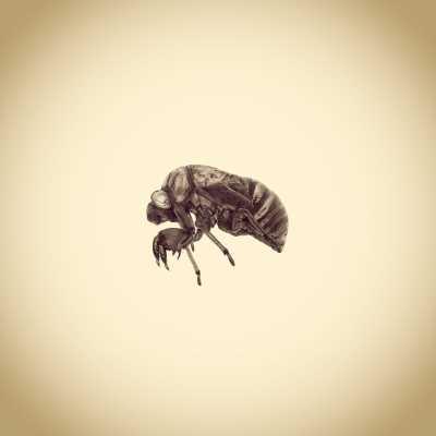 Dog Day Cicada Nymph Exoskeleton, Tibicen canicularis